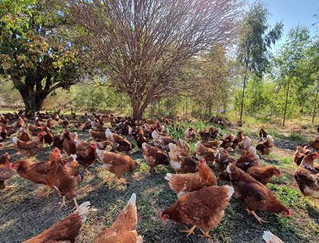 ovos orgânicos fazenda da toca
