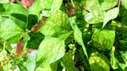 mosaico dourado BGMV bean feijão feijoeiro epamig trazilbo doenças vírus