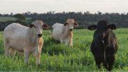 Bovinos corte carne Argentina