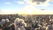 Algodão Safra 2019 2020 plantio bahia brasil cotton