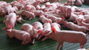 suinocultura colombia porkcolombia