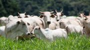 nutrição mineral gado corte pasto